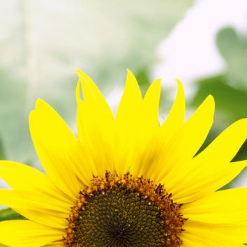 Sunflower in Flushing 8x12 Photography Print, Nature Flowers Wall Art, Floral Decor