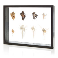 Murex Shell Collection in Frame