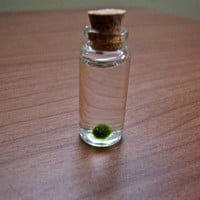 Miniature Marimo Moss Ball Bottle  Micro by eGardenStudio on Etsy