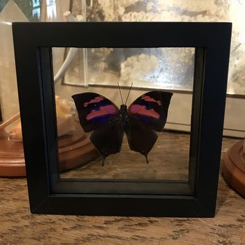 Framed Anaea Nessus Butterfly