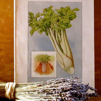 Antique Botanical Lithograph Print, Celery 1911, Green and White Vegetable, Grocer Encyclopedia, Rustic Cottage Garden Decor