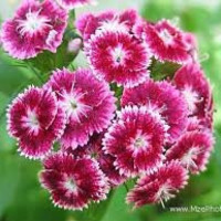 The Dirty Gardener Sweet William Flower Seeds, 0.5 Pound