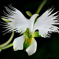 200 Japanese Radiata Flower Seeds Rare Exotic White Egret Orchid Seeds World's Rare Orchid Species Orchidee Garden & Home Planting