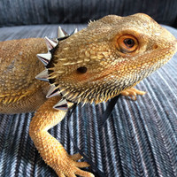 Silver Spike Collars in two sizes for Bearded Dragons