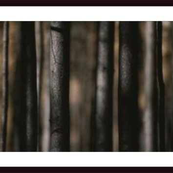 Close View Of The Trunks Of Burned Lodgpole Pine Trees, framed black wood, white matte