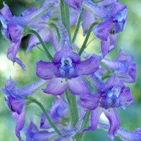 Western Larkspur, Unique Shaped Blue Wildflower, Early Settlers Made Ink with Flowers, 25 Seeds