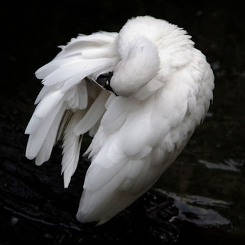 SPOONBILL ROYAL - Wildlife - Bird Photography - Print -  Fine Art - Avian - Nature - Wildlife Photography - Resting bird - Preening - White