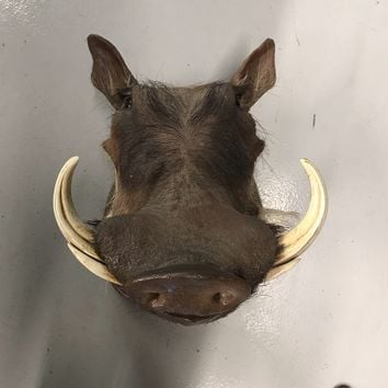 African Warthog Taxidermy Mount