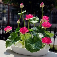 8 pcs / bag ,Lotus seeds , flower seeds, DIY potted plants, indoor / outdoor pot seed germination rate of 95% mixed colors