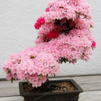 Bonsai Tree japanese Sakura Seeds Rare Japanese Cherry Blossoms Flowers Seeds in Bonsai,Pink Prunus Serrulata 10 seeds/pack