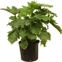 Delray Plants 10in Philodendron Selloum-10SEL at The Home Depot