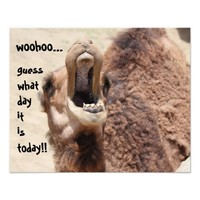 "Funny Camel ""hump day""  Guess what day it is! from Zazzle.com"