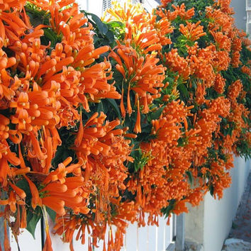 50 Red Orange Flame Vine Climbing Flower Seeds | Mina Lobata | DIY Potted Outdoor Plants Heirloom Home Garden Plants