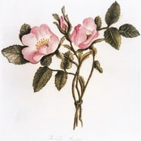 Wild Roses From Nature: Poster   Bronte Parsonage Museum