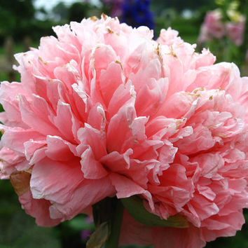 Bombast Poppy Rose Color, Flower Seeds, Attract Butterflies to Your Garden, 25 Seeds