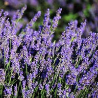 French Lavender – Two Plants