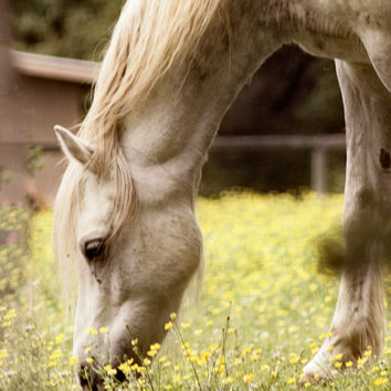 Horse Art, Dreamy Pony Photograph, Animal Photography Print, Grey Horse, Yellow Field