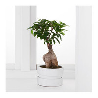 FICUS MICROCARPA GINSENG Potted plant with pot Bonsai/assorted colours 14 cm - IKEA