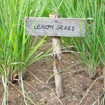 400 Lemon Grass Seeds Herb Tea Kitchen Vegetable Home Garden Design Decor DIY Cooking Lemongrass