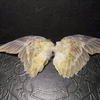 PAIR Yellow Parakeet Bird Wings Taxidermy Clip by TheCuriositeer