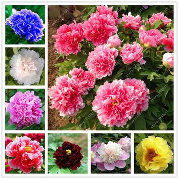 10pcs/bag peony seeds,peony yellow,peony flower seeds Chinese rose beautiful bonsai seeds potted plant for home garden