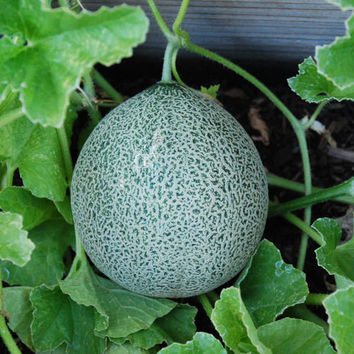 Minnesota Midget Melon Seeds + FREE Bonus 6 Variety Seed Pack - a $30 Value!