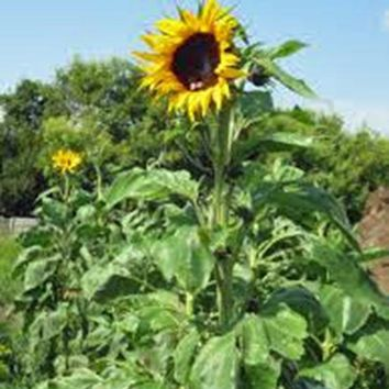 SUNFLOWER, MAMMOTH GREY STRIPE  SEEDS ORGANIC NEWLY HARVESTED, 8-12 Foot Tall