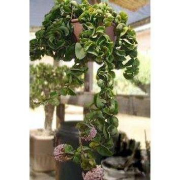 "Hindu Indian Rope Plant - Hoya - 6"" Hanging Basket"