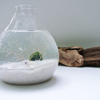 Sea Snow  Aqua Terrarium - Marimo Ball , Japanese Moss Ball, Living Home Decor, Gift , Plant, Sea Fan, Sea Shells, Glass Vase