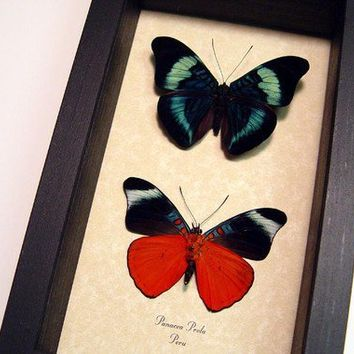 Red Blue Real Butterfly Gifts Conservation Display 156p