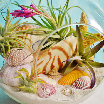 Sunset Beach Terrarium Kit ~ Large Glass Terrarium  with 4 Air Plants ~ Nautilus Shell ~ Sea Urchins ~ Starfish and Small Shells ~ Gift idea