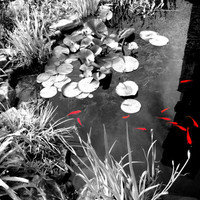 8x10 Abstract Koi Pond Goldfish Lily Pad Windmill Photograph Black and White And Color Fine Art Print Natural Picture Artwork