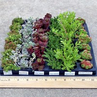 Ground Cover Wholesale Plug Tray Assorted (42)