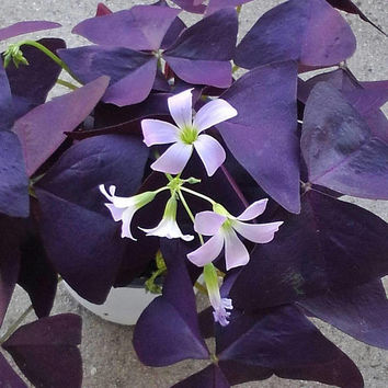 Purple Shamrock house plant - Rare Oxalis Regnellii plant in 4 inch pot