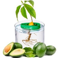 AvoSeedo Bowl Grow your own Avocado Tree Evergreen