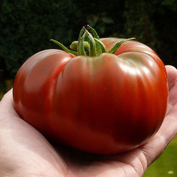 Black Brandywine, heirloom tomato, 25 seeds, huge luscious fruit, vigorous vines, robust flavor, non GMO, great slicer