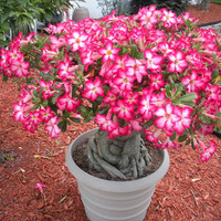 25 Desert Rose (Adenium Obesum) Seeds, Mock Azalea Fresh Exotic Seeds, Bonsai Wildflower Seeds