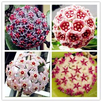 Time-Limit!!Hoya Seed Potted Flowers Bonsai Plants Hoya Seed Orchid Seed DIY Home Garden 100PCS Bonsai Pot Plant For Home Garden