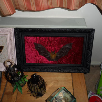 Mummified bat  with open wings mounted on vintage black frame