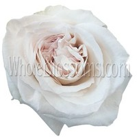 White Wedding Garden Rose Ohara | Buy Fresh Cut Bulk White Roses