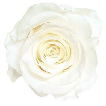 """Box of 8 Preserved Rose Heads in Pure White - 2"""" Wide"""