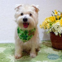 Shaded Shamrocks St Patricks Day Dog Bandana