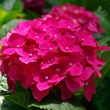 30 Red Pink Hydrangea Flower Seeds | Long Lasting, Gorgeous Balcony or Yard Flower Plant Home Garden Decor Courtyard