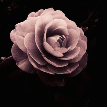 Winter Rose | Fine Art Photography | Rose | Pink | Black | Romantic | Oregon Garden