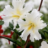 Monkey Flower Twinkle White Seeds (Mimulus Hybridus F2) 100+Seeds