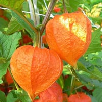 Beautiful Chinese Lantern Seeds, Excellent for Drying and Decorating, 10 Seeds