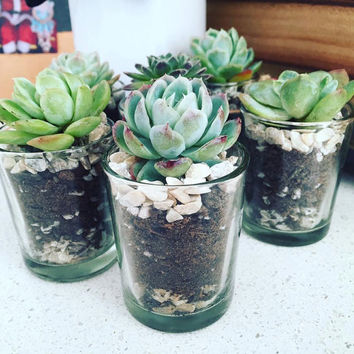 Mini Succulent Pots - Wedding Favours