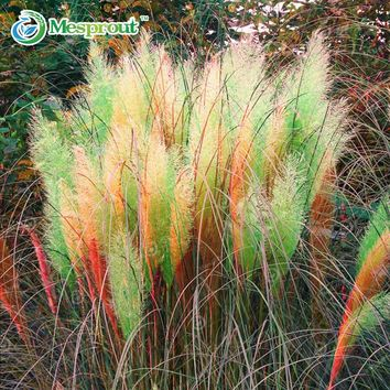 500PCS Pampas Grass Seed Patio and Garden Potted Ornamental Plants New Flowers (Pink Yellow White Purple) Cortaderia Grass Seed