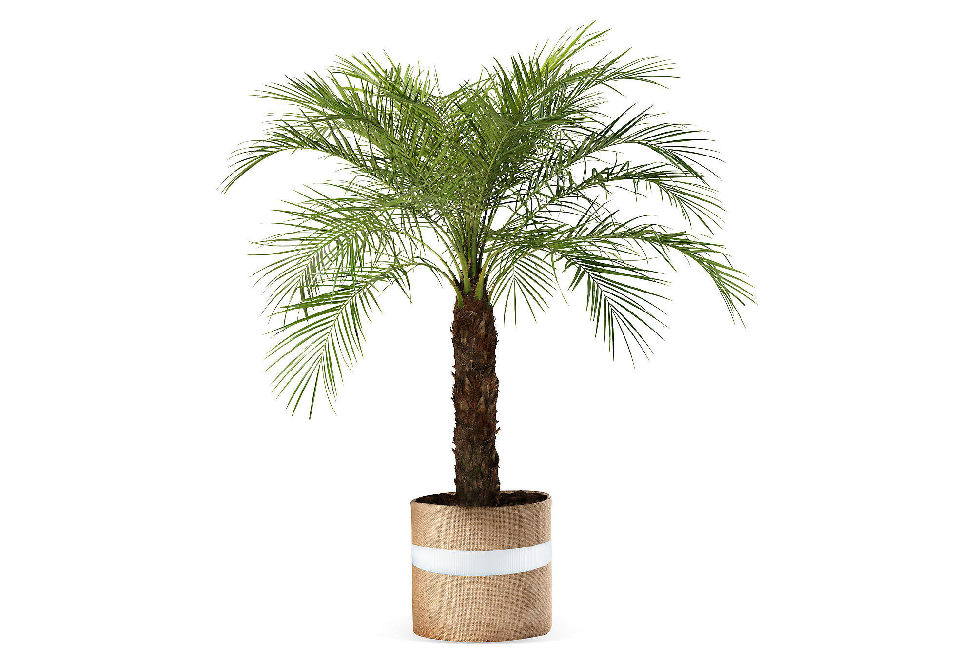 36 quot pygmy date palm tree live trees from one kings lane