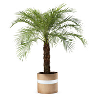 "36"" Pygmy Date Palm Tree, Live, Trees"